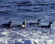 Water Penguins
