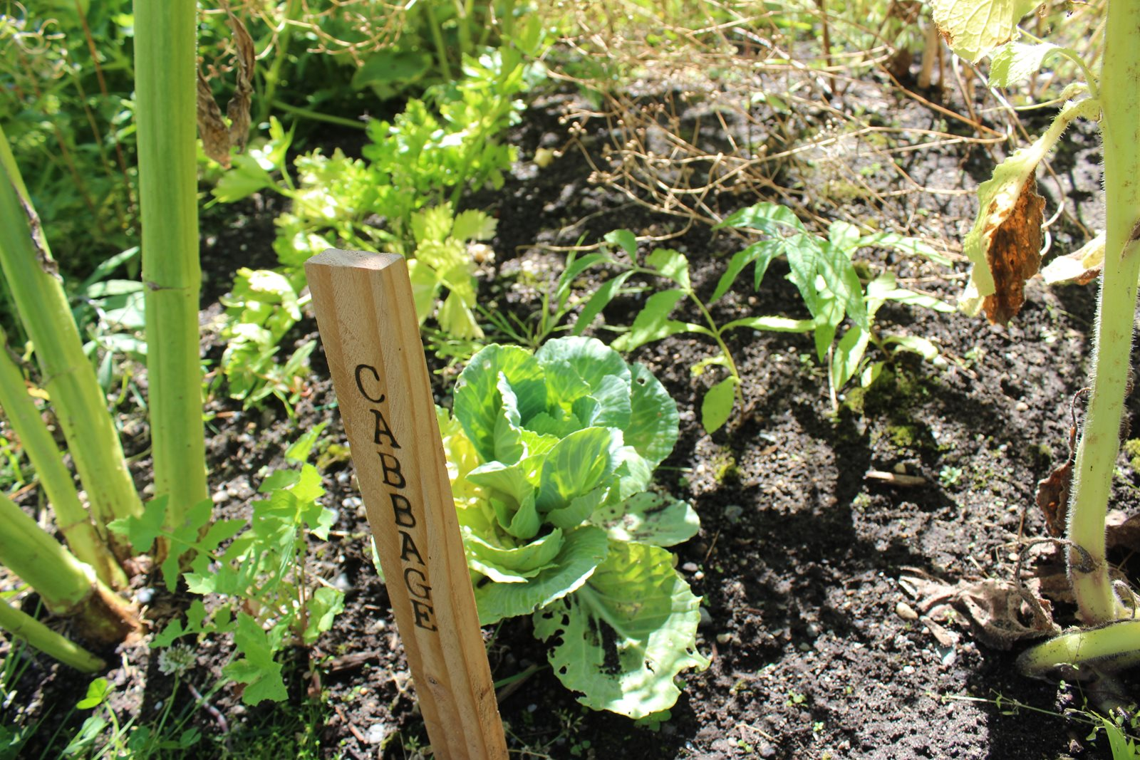photo of cabbage growing in the food forest on campus